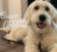 Grace Goldens Goldendoodle Puppy
