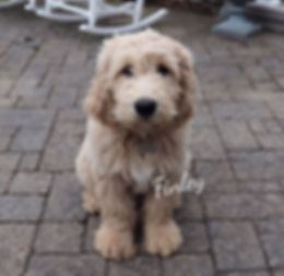 Grace Goldens Goldendoodle Puppies