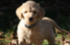 Cream Fleece Coat Labradoodle Puppy for sale, Des Mones Iowa