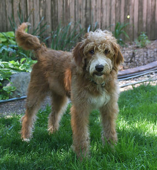 Abstract Red Labradoodle, Des Moines Iowa