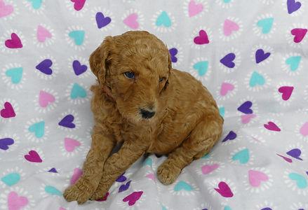 Poodle Puppies for Sale | Des Moines, Iowa | Oodles of Des