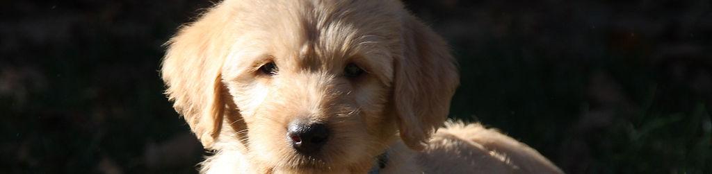 Poodle Puppies for Sale | Current Litter | Des Moines, IA