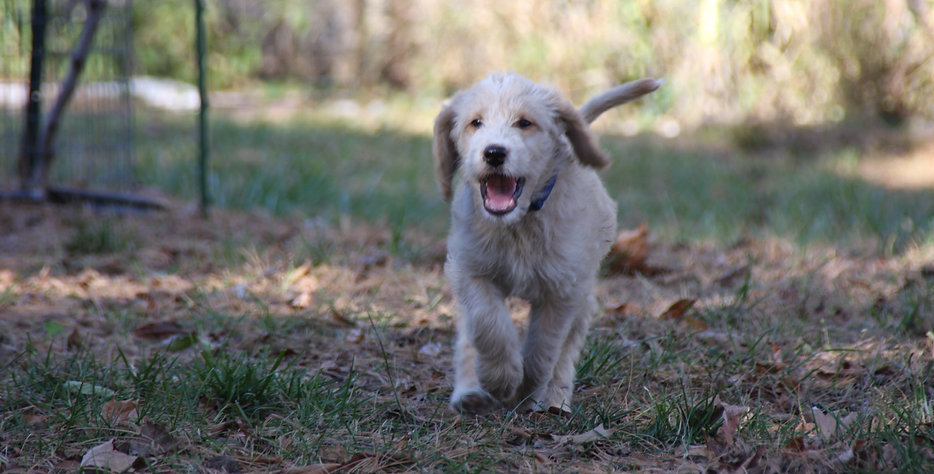 Abstract Cream Labradoodle Puppy, Des Moines Iowa