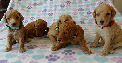 AKC Red and Apricot Standard Poodle Puppies for Sale Des Moines Iowa