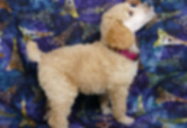 Apricot Standard Poodle Puppy for sale in Des Moines, Iowa