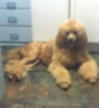 AKC Red Standard Poodle, Des Moines Iowa