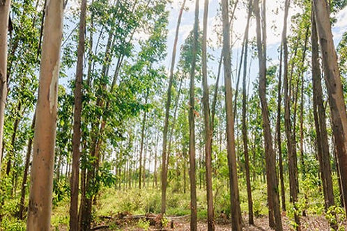 VCS Forest Plantation Project in South Amercia (£8 per ton)