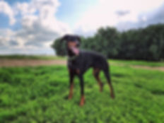 Kai_•_•_#kaisquatch #doberman #dobermanp
