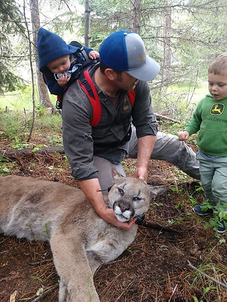 Bart collaring a cougar for work with his young sons in tow.