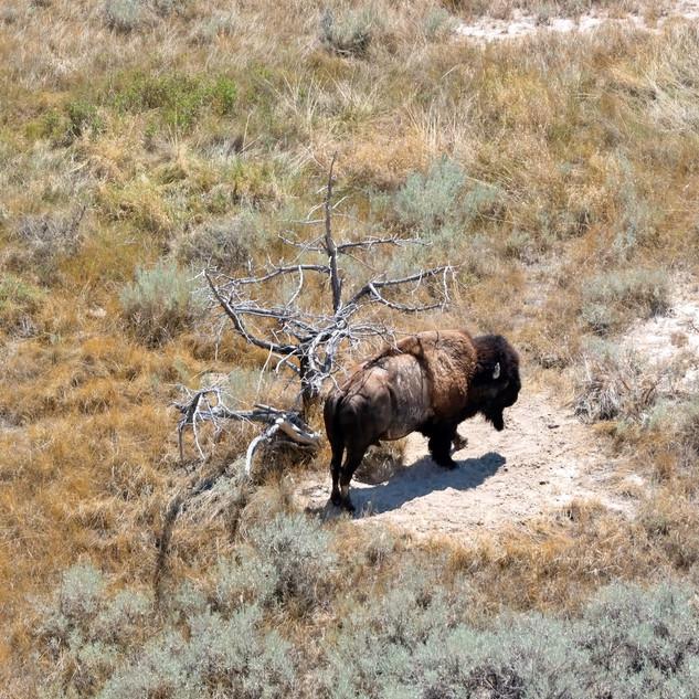 Buffalo of South Dakota Badlands