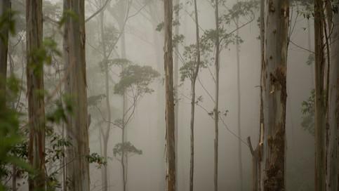 Niebla&Eucaliptos