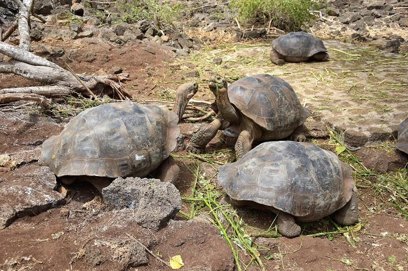 Galapagos Riesenschildkröten