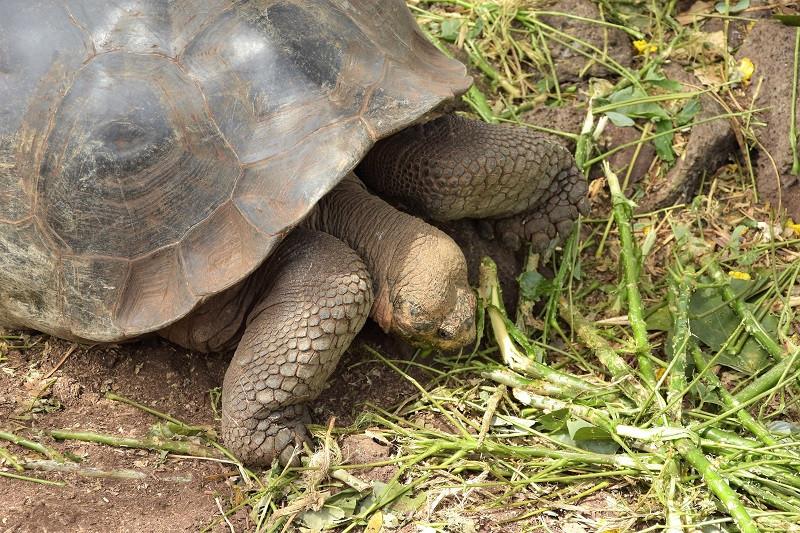 Galapagos Riesenschildkröte beim Fressen