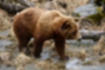 Alaskan brownbear