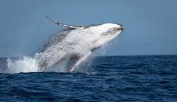 Baleia-jubarte saltando
