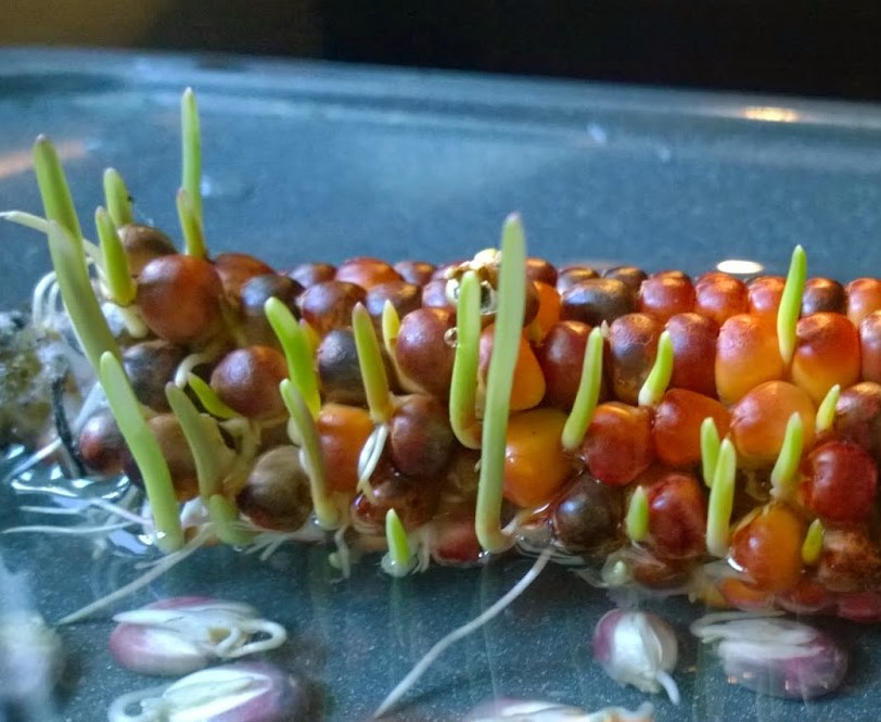 Sprouting indian corn
