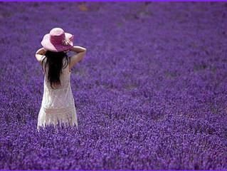 Aromatic Passion - Lavender Part2