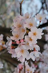Cherry blossoms Kropsoq.jpg