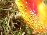 De Boomklever paddenstoel