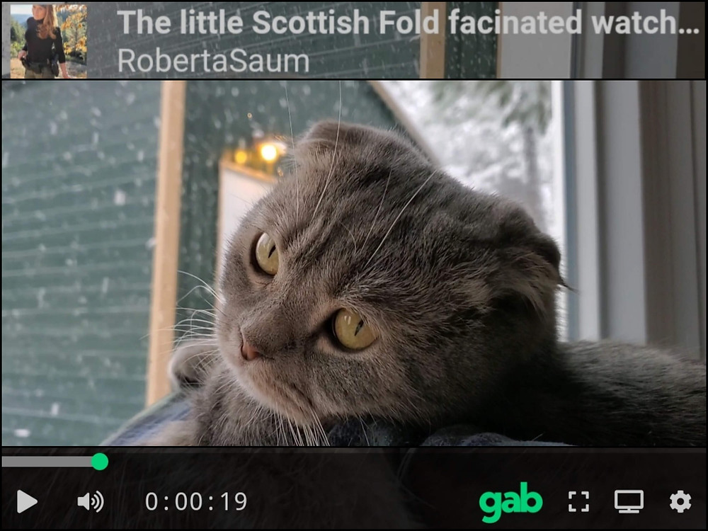 cute scottish fold kitty video