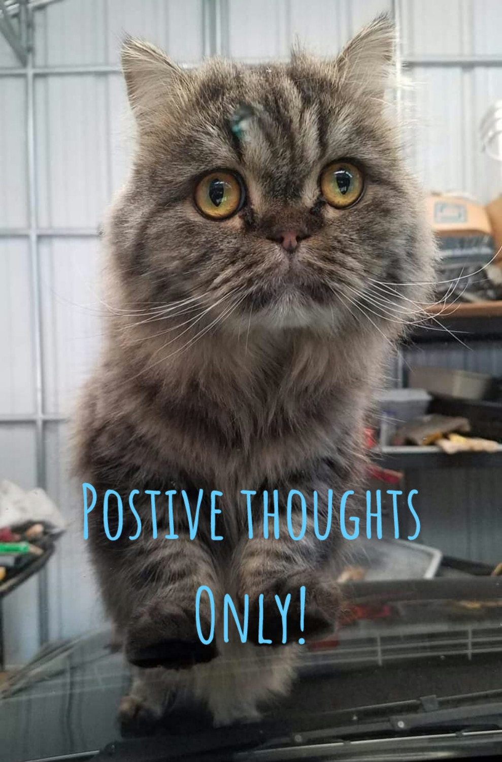 Cute scottish fold kitty positive thoughts