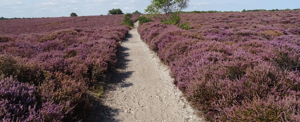 Dunwich Heath on the Suffolk coast, Engl
