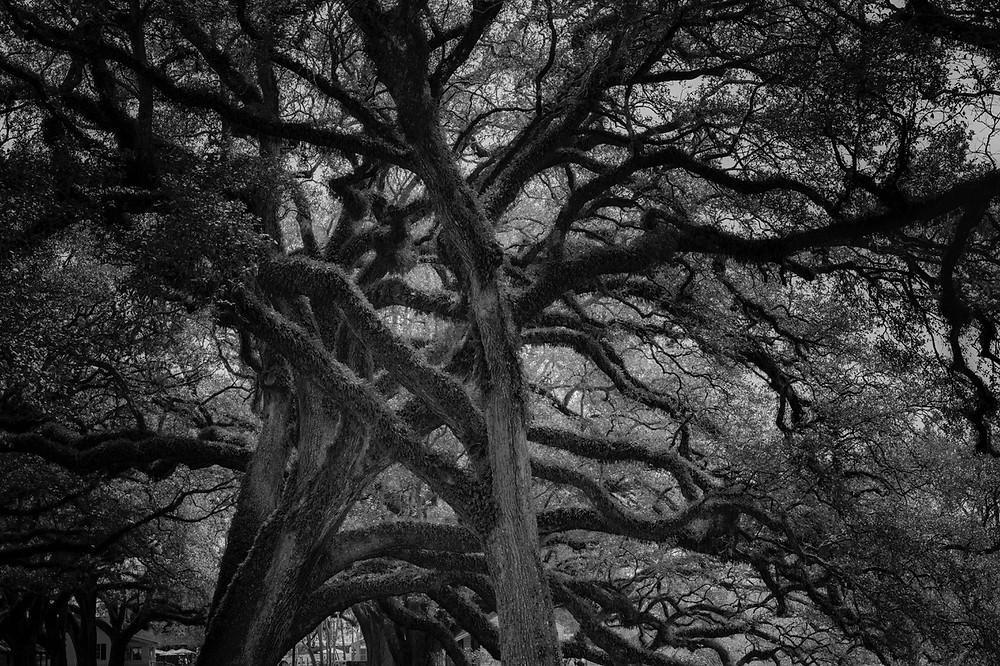 Oak Alley Eichen