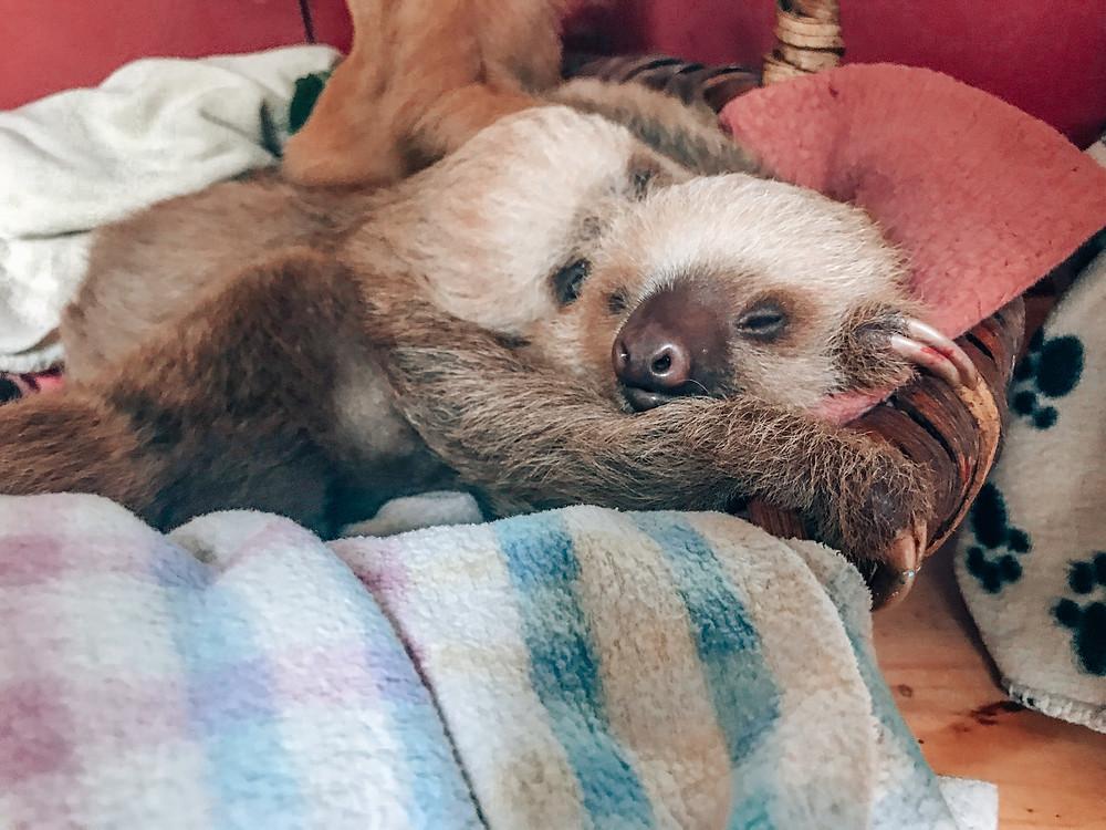 Escape Reno: Costa Rica Sloth