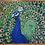 "Thumbnail: Peacock Framed  16 "" x  20"""