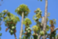 chilean_papaya_tree_1.jpg
