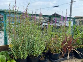 芦屋市にて庭木の管理作業
