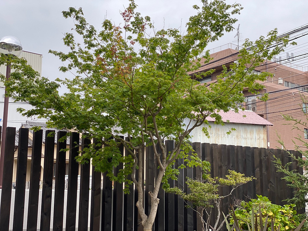(典型的な被子植物)イロハモミジAcer palmatum