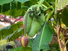初めて見たバナナの木!!!