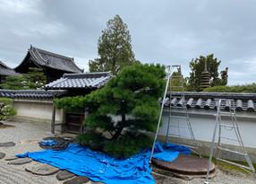 歴史ある寺院での剪定作業