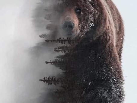Bear Medicine -> Power. Protection. Healing
