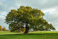 chene-pedoncule-arbre-full-13102369.jpg