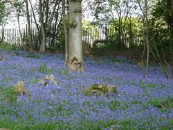 Waterside Manor Bluebells