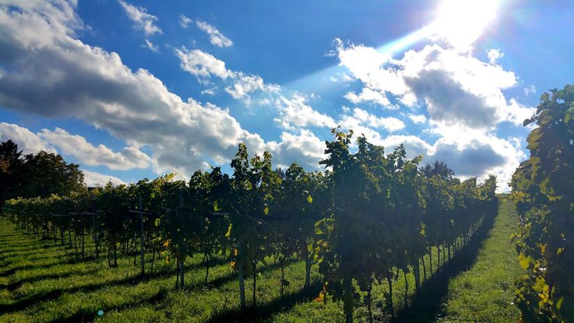 Typische Weinberge auf der Insel Reichenau