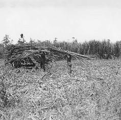 Sugar cane fields. Ballina