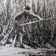 Cane cutting. Empire Vale. 1960s. Note the style of cutting: one stalk at a time. This changed to Bundaberg style, laying all cane on ground, then mass beheading.
