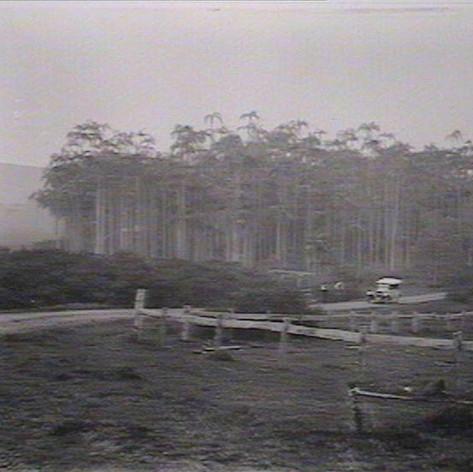 Palm forest near Skennars Head 1926