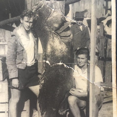 350 lb cod caught while netting for garfish behind Porpoise Wall, Ballina 1946