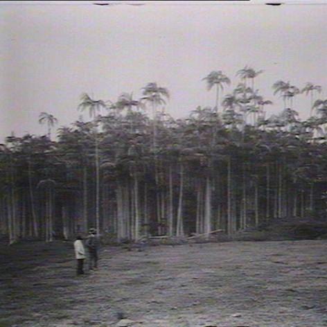 Palm forest near Skennars Head, 1926