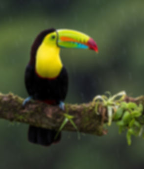 Keel-billed Toucan_edited_edited_edited.jpg