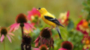 American%20Goldfinch%20male%20summer%20plumage%20on%20a%20Cone%20flower_edited.jpg