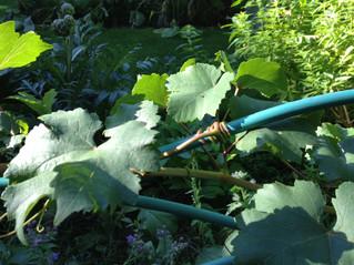 Dans mon jardin confiné...day#21