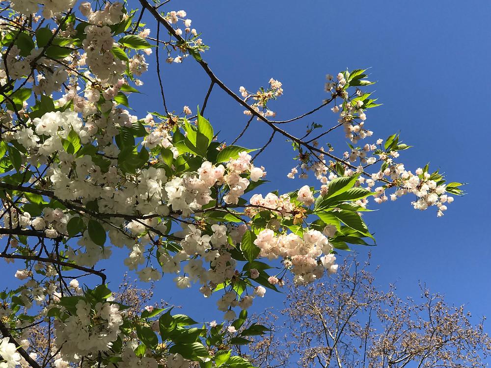 arbre en fleurs_audesimon