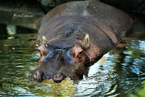 homosassa hippo WITH SIGN.jpg