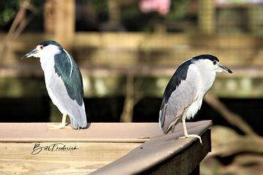homosassa twobirds WITH SIGN.jpg
