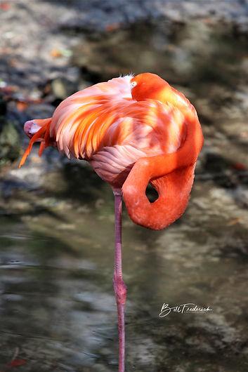 homosassa flamingo 5 WITH SIGN.jpg